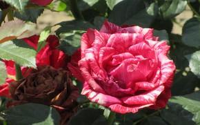 Picture rose, spring 2018, Meduzanol ©