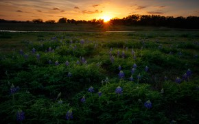 Picture field, the sun, sunset, flowers, lupins