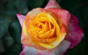 Picture macro, rose, petals, Bud, bright