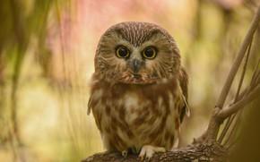 Picture look, branches, owl, bird, bokeh, owl