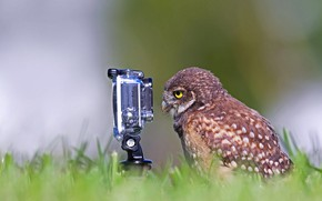 Picture bird, the situation, the camera, burrowing owl