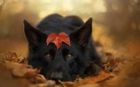 Picture autumn, look, face, foliage, dog, leaf, bokeh, shepherd