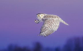 Picture the sky, look, flight, owl, bird, wings, white, twilight, flies, polar, the scope, snowy owl, …