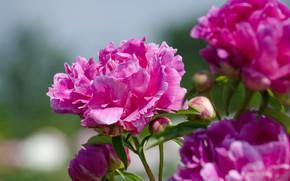 Picture petals, flowering, peonies