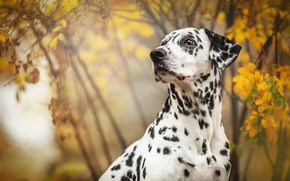 Picture autumn, look, face, leaves, branches, nature, background, foliage, black and white, portrait, dog, yellow, Dalmatians, …