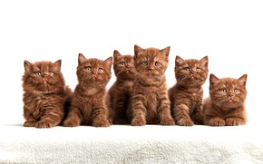 Wallpaper look, kittens, white background, company, brown, cuties, a lot, faces, sitting, chocolate, British
