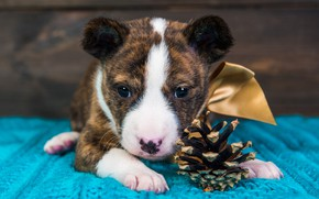 Picture look, pose, interest, background, holiday, Board, portrait, dog, baby, Christmas, puppy, New year, lies, bow, …