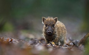 Picture autumn, leaves, nature, wet, dirty, rain, baby, dirt, boar, face, cub, pig, hog, Piglet, pig, …