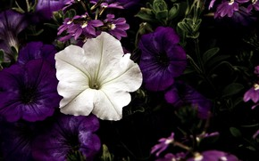 Picture petunias, Petunia, white flower
