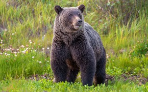 Picture greens, summer, grass, look, face, nature, pose, glade, bear, bear, brown, herbivores, chew