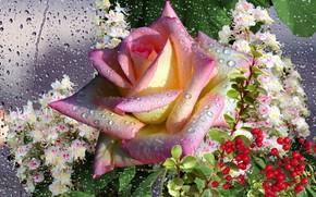 Picture autumn, drops, Rosa, rain, rose