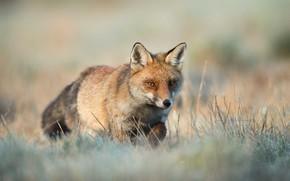 Picture grass, background, glade, Fox, walk
