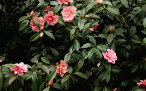 Picture pink, flowers, Camellia, beauitiful