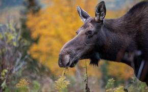 Picture autumn, face, foliage, portrait, moose, moose