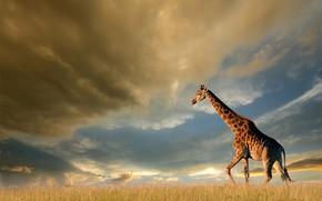 Picture field, the sky, grass, the sun, clouds, clouds, nature, giraffe