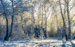 Picture snow, frost, Sunny, birch