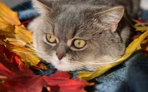Picture cat, cat, look, leaves, muzzle, Bozhena Puchko