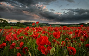 Picture field, summer, the sky, clouds, flowers, clouds, Maki, the evening, meadow, red, a lot, gloomy, …