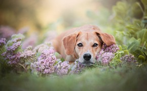 Picture summer, face, leaves, flowers, background, portrait, dog, lies, brown