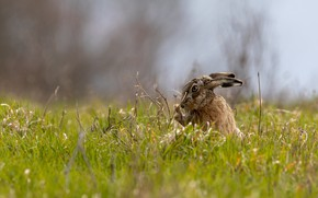 Picture summer, grass, grey, background, glade, hare, spring, Bunny