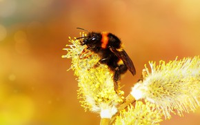 Picture macro, orange, bee, background, branch, spring, yellow, insect, bumblebee, kidney, Verba, pollination, bokeh