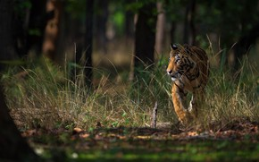 Picture forest, grass, look, light, trees, nature, tiger, pose, thickets, trunks, walk, sneaks