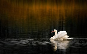 Picture white, water, the dark background, bird, Swan, pond, swimming, bokeh