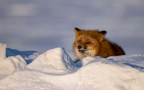 Picture winter, look, face, snow, Fox, the snow, lies, red