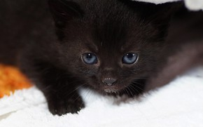Picture cat, look, kitty, black, portrait, baby