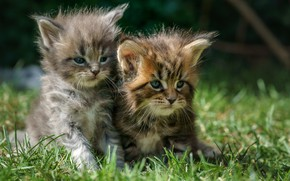 Picture grass, kittens, kids, a couple, Maine Coon, two kittens