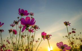 Picture field, summer, the sky, the sun, sunset, flowers, colorful, meadow, summer, pink, vintage, field, sunset, …
