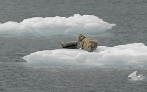 Picture nature, the ocean, bird, ice, Navy seals, DUELL ©