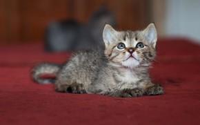 Picture cat, look, pose, kitty, grey, mattress, muzzle, kittens, lies, смотрт вверх