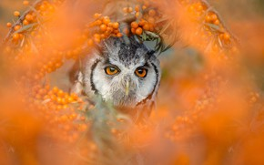 Picture eyes, branches, berries, owl, bird, portrait, blur, orange background, owl, sea buckthorn