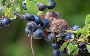 Picture leaves, blue, berries, background, two, grapes, a couple, mouse, mouse, the mouse is tiny, field …