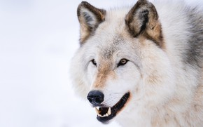 Picture white, look, face, wolf, portrait, mouth, fangs, white background, polar