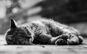 Picture cat, cat, sleeping, black and white photo