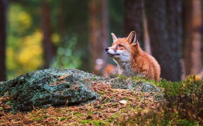 Picture forest, look, face, background, Fox, Fox