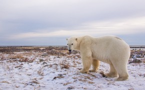 Picture look, snow, Polar bear, Polar bear