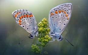 Picture flower, macro, butterfly, butterfly
