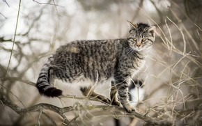 Picture cat, cat, branches, nature, grey, tree, blur, striped, on the tree, Kote, bokeh