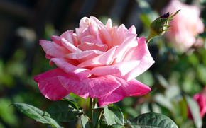 Picture flower, leaves, drops, background, pink, rose, petals, garden, Bud, one, bokeh, gentle, lush, solo