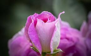 Picture macro, pink, rose, Bud