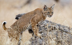 Picture pose, stump, lynx, stand