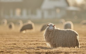 Picture field, look, light, fog, house, glade, sheep, morning, wool, village, pasture, meadow, haze, white, lawn, …