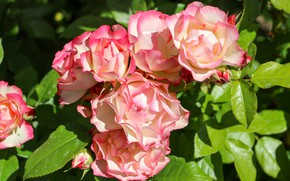 Picture flowers, pink, roses, flowering