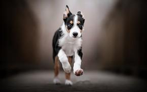 Picture dog, running, puppy