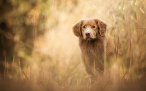 Picture autumn, grass, look, face, nature, dog, red, puppy, red, Labrador, Golden, brown, bokeh, Retriever, teen