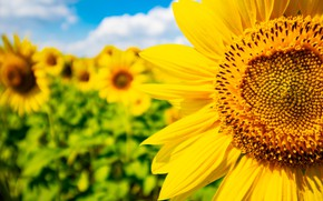 Picture summer, flowers, sunflower, field of sunflowers