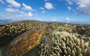 Picture Australia, green turtle, остров Леди-Эллиот, Большой барьерный риф